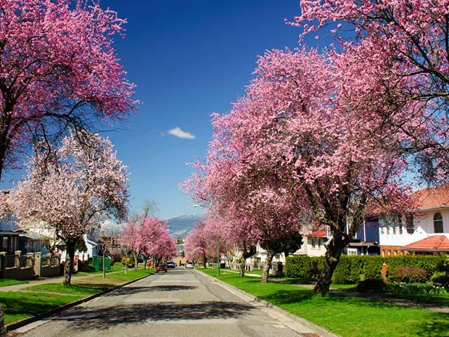 卡尔加里出发华盛顿樱花节5日游:CA5-7886
