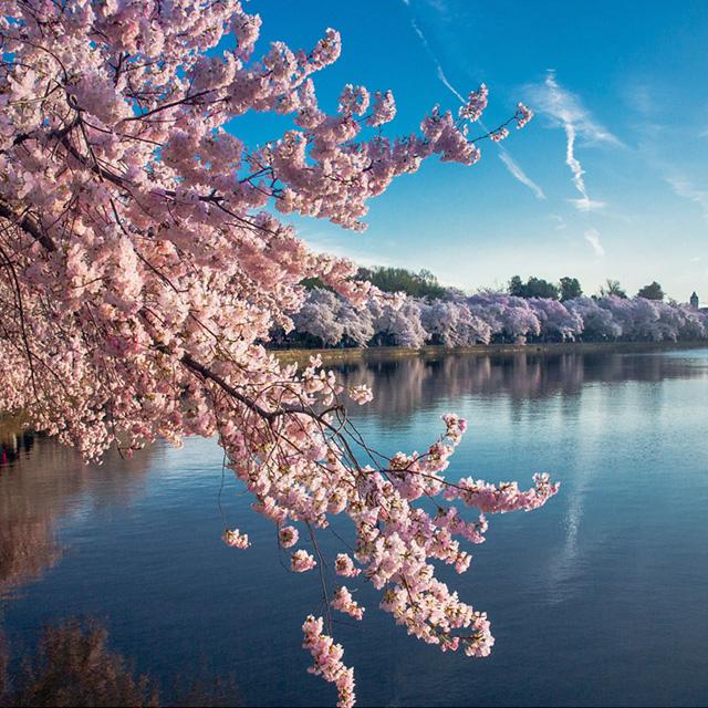 波士顿出发华盛顿樱花节、尼亚加拉大瀑布5日游:BO5-1184
